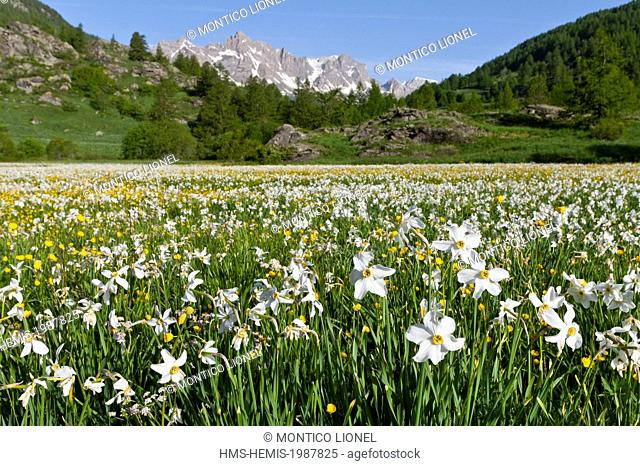 France, Hautes-Alpes, Nevache La Claree valley, daffodils, narcissus family Amaryllidaceae, overlooking the Pointe Cerces (3097m)