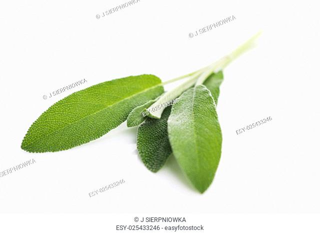 Sage sprig isolated on white background