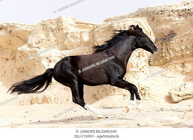 Barb Horse. Black stallion galloping on a beach with rocks in background. Tunisia