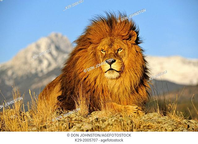 African lion (Panthera leo) Barbary lion extirpated in the wild, Bozeman, Montana, USA