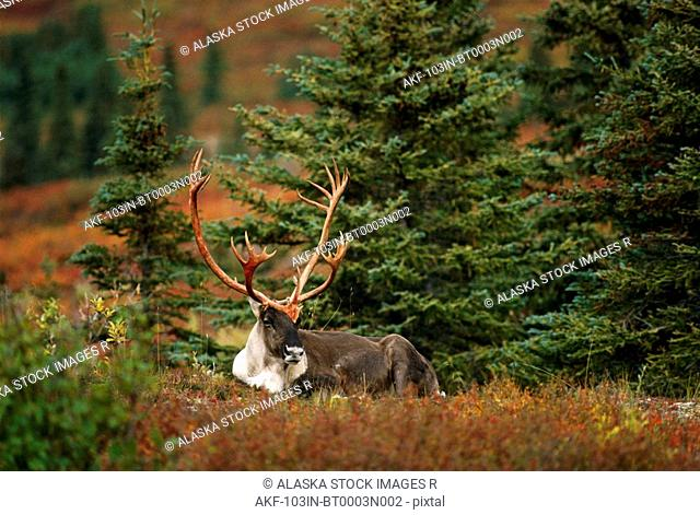 Adult Caribou Fall Interior Alaska
