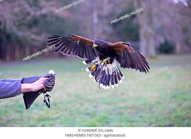 France, Loiret, Sologne, Ligny le Ribault, Red tailed Hawk (Buteo jamaicensis)