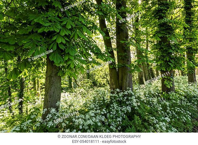 Chesnut trees with flut herb in morning light