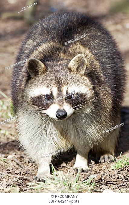 raccoon - standing / Procyon lotor