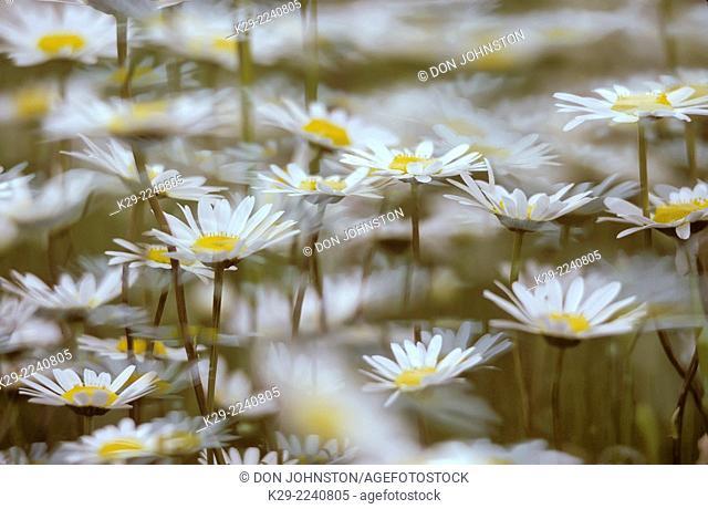 Oxeye daisy (Chrysanthemum leucanthemum), Greater Sudbury, Ontario, Canada