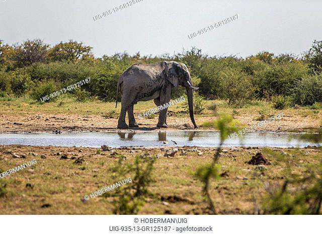 An African Bull Elephant by a waterhole in Etosha National Park, Namibia