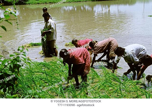 Farmers are working in a paddy field of rice crop, Oryza Sativa