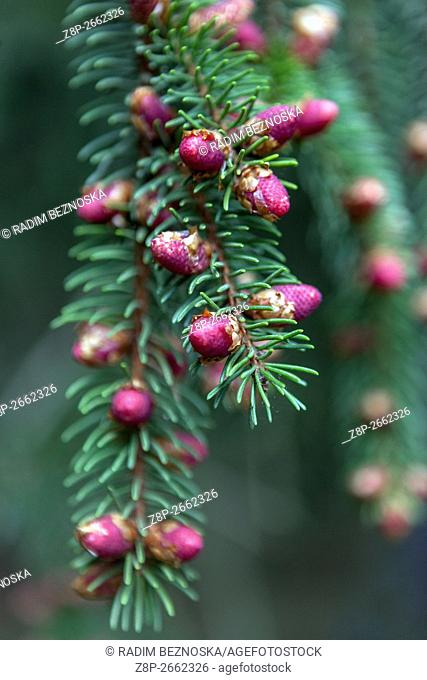 Norway Spruce, Picea abies 'Finedonensis', close-up of flower cones