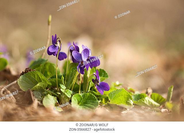 Hainveilchen, Common Dog-violet Viola riviniana