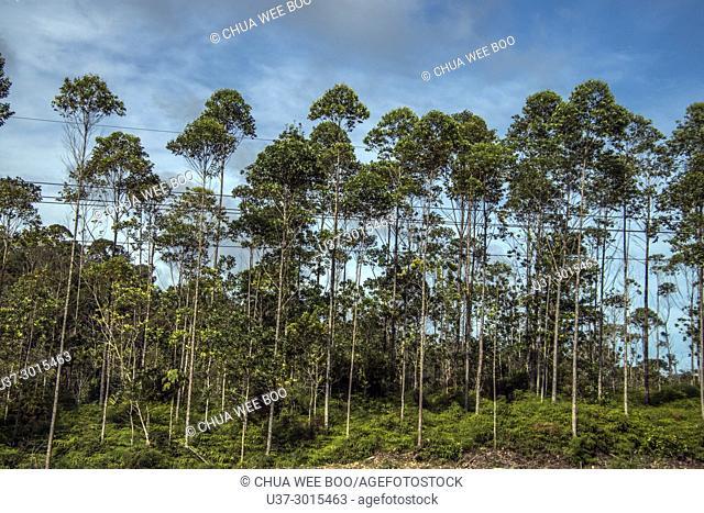 Trees seen along Kuching-Lundu road, Sarawak, Malaysia