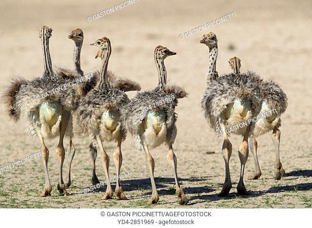 Common ostrich (Struthio camelus) - Youngs, Kgalagadi Transfrontier Park, Kalahari desert, South Africa