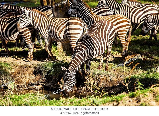 Plains Zebra, Equus quagga, Lake Nakuru National Park, Kenya