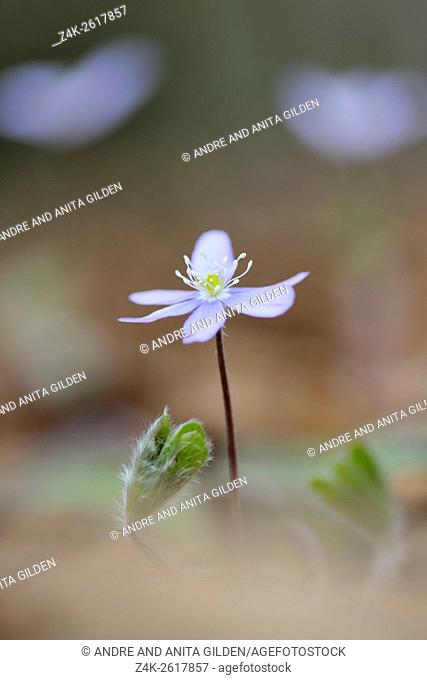 Anemone hepatica (Hepatica nobilis), Eurpean Liver Leaf, close-up on forestfloor with shallow depth of field, Haute Savoie, France