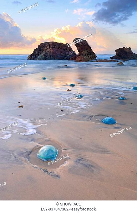 Thousands of blue jelly blubber jellyfishes ranging from small egg size to dinner plate sizes washed ashore with Watonga rocks and sunrise reflections in the...