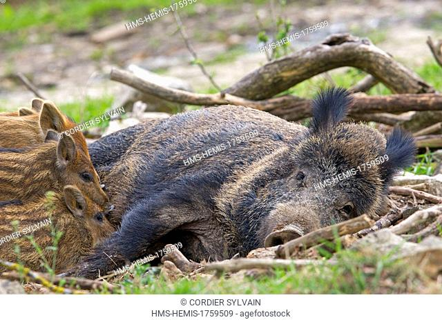 France, Haute Saone, Private park, Wild Boar ( Sus scrofa ), sow and babies ( piglets ), female nursing