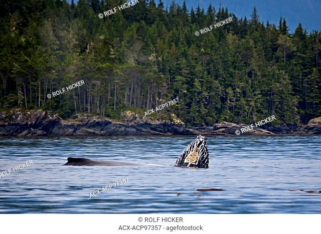 Humpback Whale, Megaptera novaeangliae, Northern Vancouver Island, Vancouver Island, British Columbia, Canada