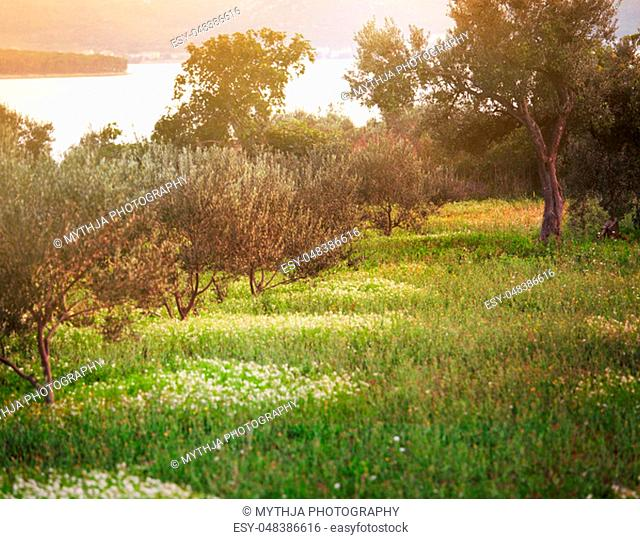 Mediterranean olive field. Olive tree in orchard. Olive harvest