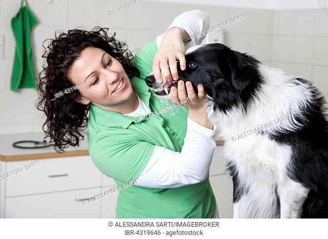 Veterinarian, female vet checking the teeth of a dog, Border Collie