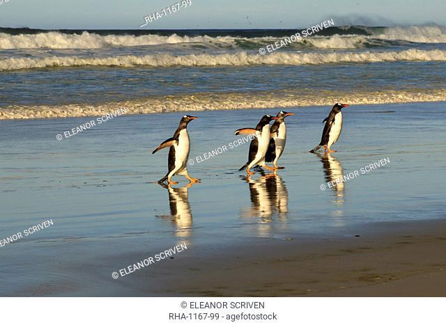 Reflected gentoo penguins (Pygoscelis papua) emerge from the sea, The Neck, Saunders Island, Falkland Islands, South America