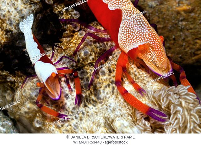 Pair of Emperor Shrimp, Periclimenes imperator, Ambon, Moluccas, Indonesia