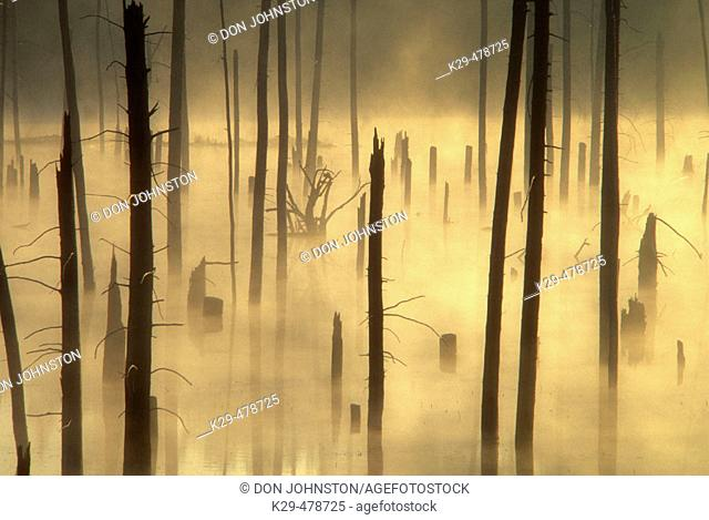 Misty dead snags in pond created by beaver flooding. Killarney. Ontario. Canada