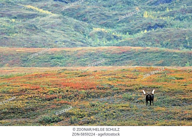 Elchschaufler in der herbstlich verfaerbten Tundra - (Alaska-Elch) / Bull Moose in indian summer in the tundra - (Alaska Moose) / Alces alces (gigas)