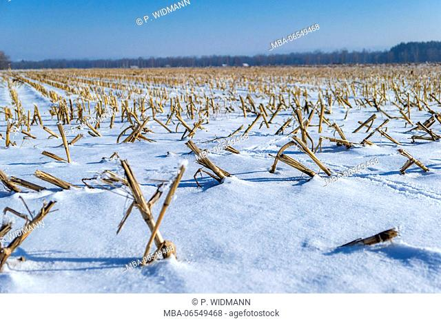 Harvested corn field in winter, cvered with snow