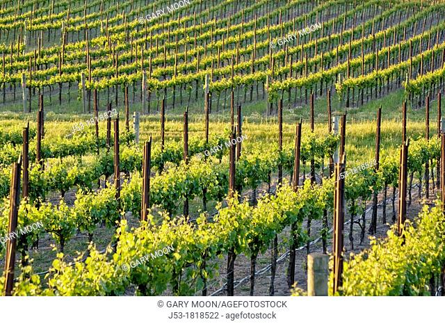 Rows of grapevines in vineyard, Sonoma County, California