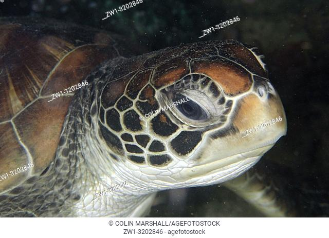 Green Turtle (Chelonia mydas), Tasi Tolu dive site, Dili, East Timor (Timor Leste)