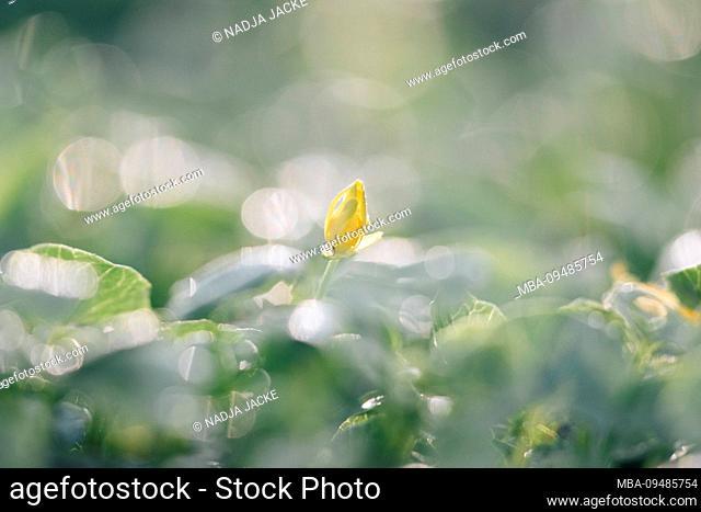 Yellow flower bud in meadow, detail