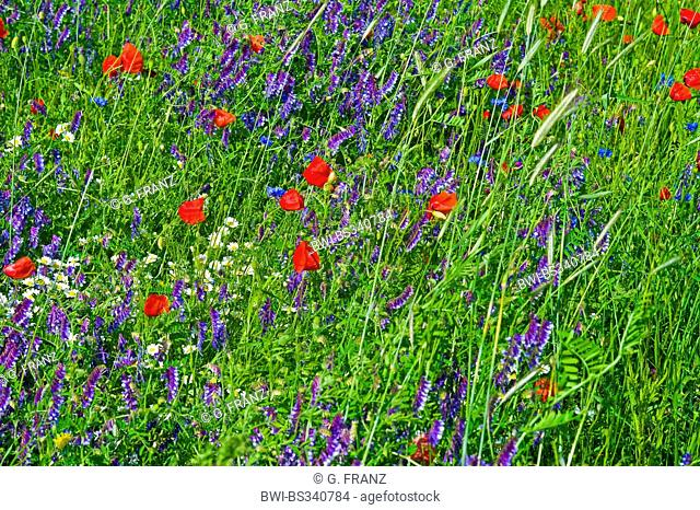 winter vetch, shaggy vetch (Vicia villosa), field with poppy and vetch1, Germany, Mecklenburg-Western Pomerania