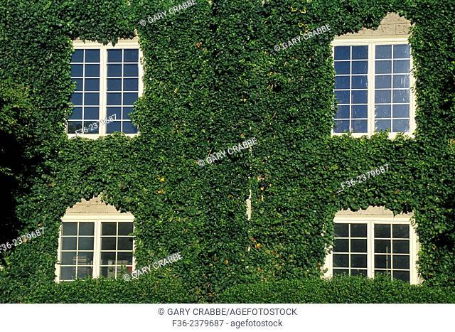 Ivy covered wall at Byington Vineyard & Winery, Santa Cruz Mountains, California