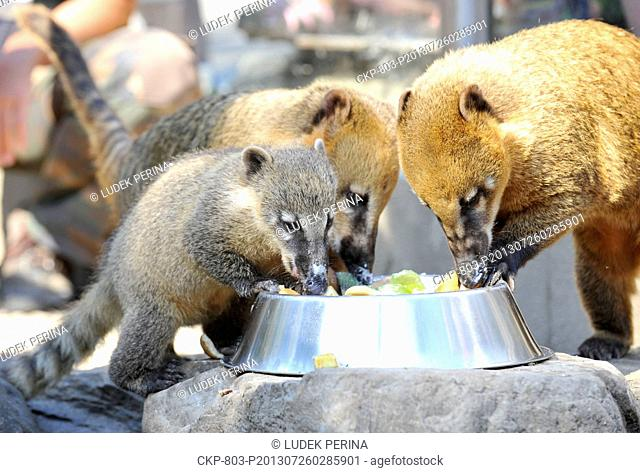 Four babies of ring-tailed coati (born April 17) were presented in the ZOO in Olomouc, Czech Republic, July 26, 2013. One baby is pictured left
