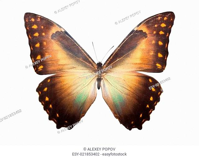 Butterfly Morpho Telemachus
