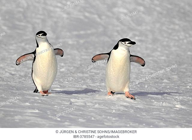 Chinstrap penguins (Pygoscelis antarctica) pair, Brown Bluff, Antarctica