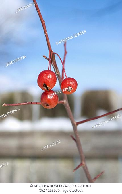 Three left over Cherries on a tree in the Winter