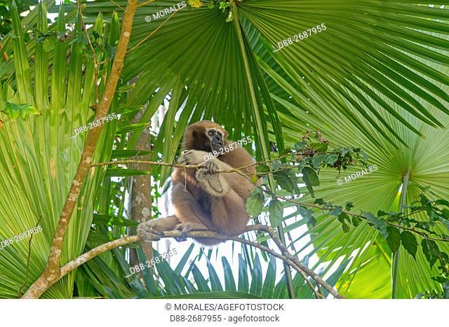 South east Asia, India,Tripura state,Gumti wildlife sanctuary,Western hoolock gibbon (Hoolock hoolock), adult female