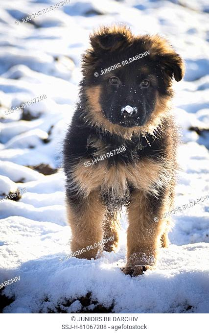 German Shepherd. Long-haired puppy standing in snow. Germany