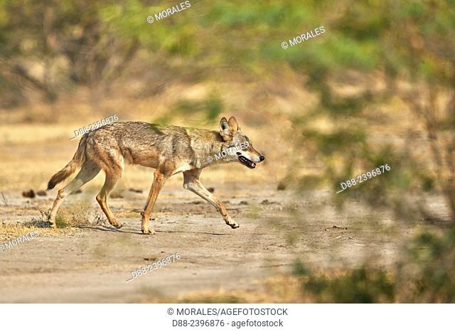 India,Gujarat,Little Rann of Kutch,Wild Ass Sanctuary,Indian wolf (Canis lupus pallipes)called now (Canis indica),adult female
