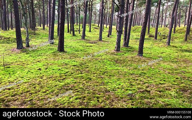 Green sand dunes in a pine forest in springtime in Ystad, Scania, Sweden