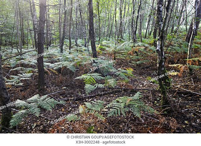 fern under birch trees, Forest of Rambouillet, Haute Vallee de Chevreuse Regional Natural Park, Department of Yvelines, Ile de France Region, France, Europe