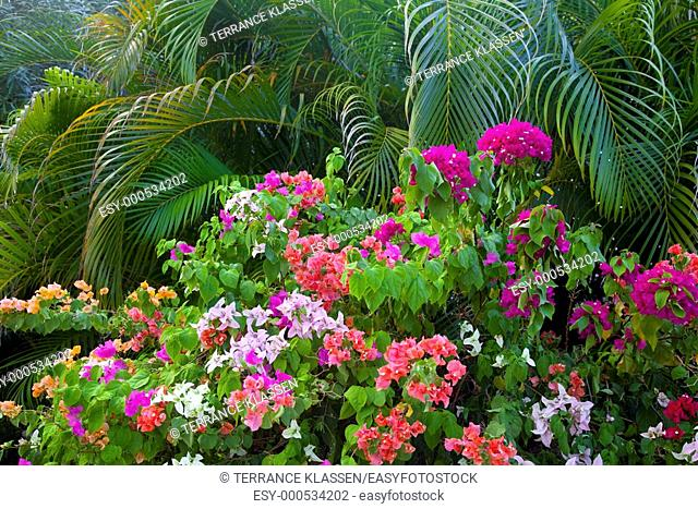 Tropical foliage of bougainvillea flowers and palm fronds at the Caribe Hilton resort in San Juan, Puerto, Rico, West Indies