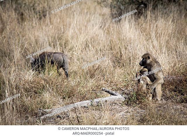 Nature photograph with baboon protecting offspring from warthog, Okavango Delta, Botswana