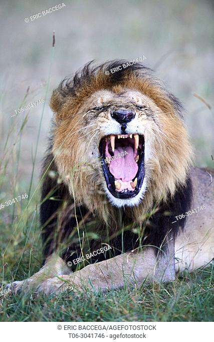 African Lion (Panthera leo) male yawning, Masai Mara National Reserve, Kenya, Africa