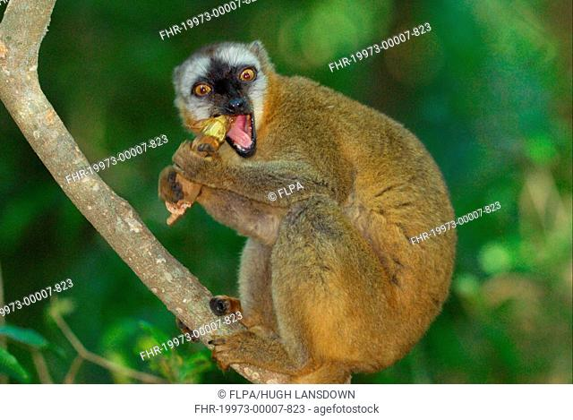 Red-fronted Brown Lemur Eulemur rufus adult, feeding on tamarind seeds in gallery rainforest, Berenty Nature Reserve, Southern Madagascar, august