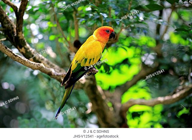 Sun Conure, (Aratinga solstitialis), adult on branch, South America
