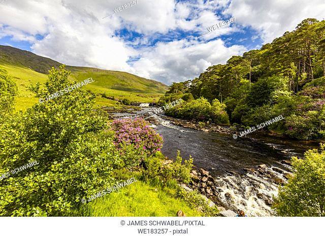 Spring bloomimg Rhododendron bushes at Ashleigh Falls on the Erriff River in County Mayo Ireland