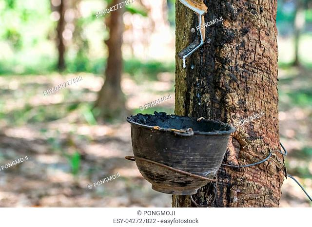 Rubber tree with natural rubber in white milk color drop to the bowl or pot at rubber tree plantation natural latex is a agriculture harvesting for industry in...