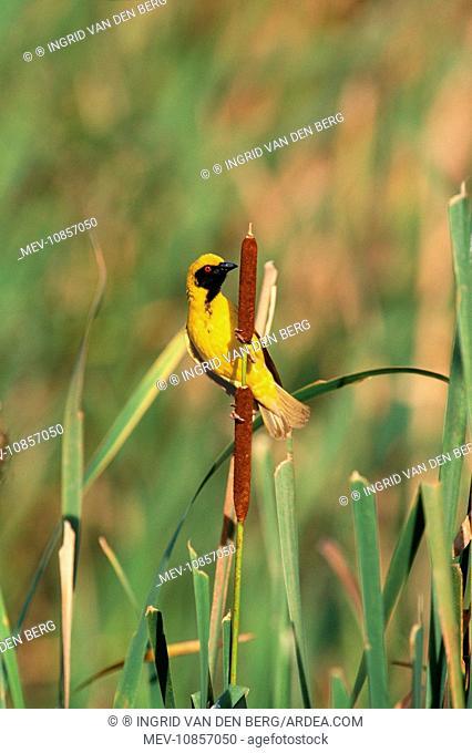 Black-headed / Spotted-backed / Village WEAVER - male in breeding plumage (Ploceus cucullatus). KwaZulu-Natal Midlands, South Africa