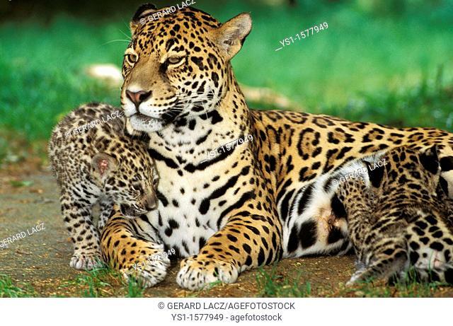 Jaguar, panthera onca, Female with Cub Slucking